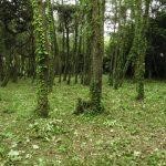 松林の下草刈り