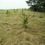 松苗の下草刈り